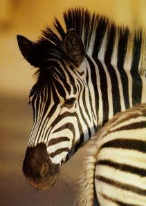 Paint me with stripes and call me a zebra!